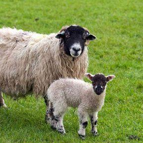 Le bébé agneau