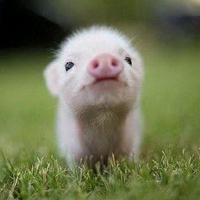Le bébé cochon