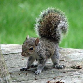 Le bébé écureuil