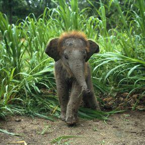 Le bébé éléphant asiatique
