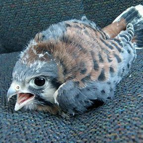 Le bébé faucon