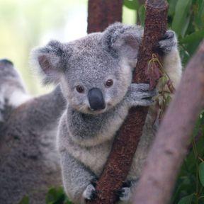 Le bébé koala