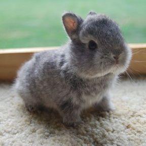 Le bébé lapin