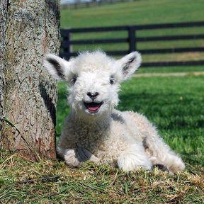 Le bébé mouton