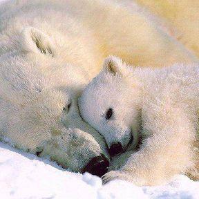 Le bébé ours polaire