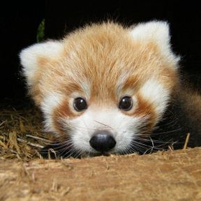 Le bébé panda roux