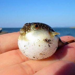 Le bébé poisson globe