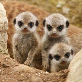 Le bébé suricate