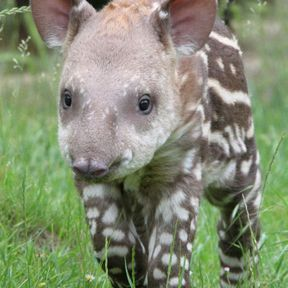 Le bébé tapir