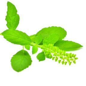 Le Tulsi (Ocimum tenuiflorum ou Ocinum sanctum)