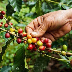 Les cerises de café