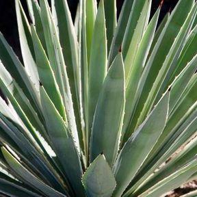 Le sirop d'agave : 31 kcal la cuillère à café