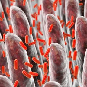 Bifidobacterium ou Bifidus
