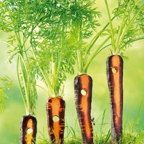 Les carottes Dalton !