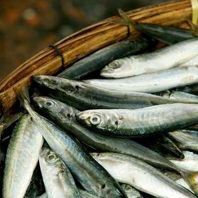 Les anchois de méditerranée