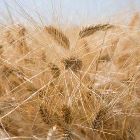 Le son de blé