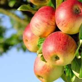 Pour affiner le ventre : la pomme