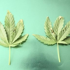 Combien de temps l'organisme met-il à éliminer le cannabis ?