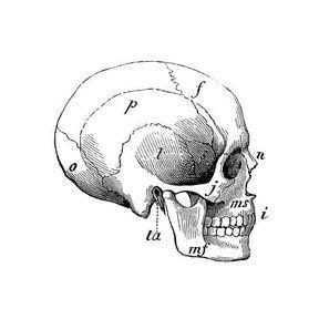 La taille du crâne et du cerveau