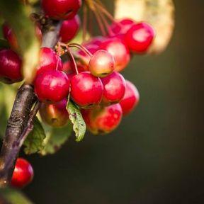 Elixir floral de crab apple