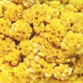 De l'hydrolat aromatique d'hélichryse italienne
