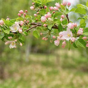 La Fleur de Pommier Sauvage en Fleur de Bach