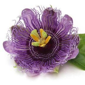 Une tisane de passiflore (Passiflora incarnata)