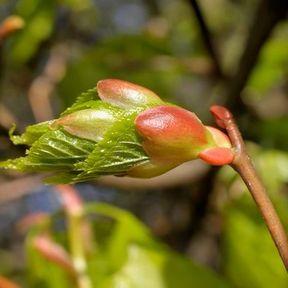 Un macérât glycérinés de bourgeons de tilleul et de figuier