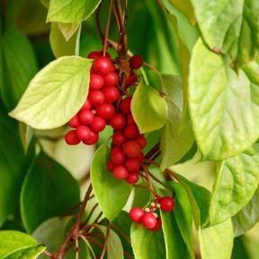 Le schisandra : une plante aphrodisiaque réputée