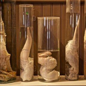 Destination Reykjavik (Islande) : Le Icelandic Phallological Museum