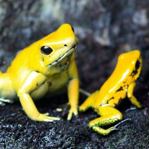 La substance d'une peau de grenouille pour combattre la grippe