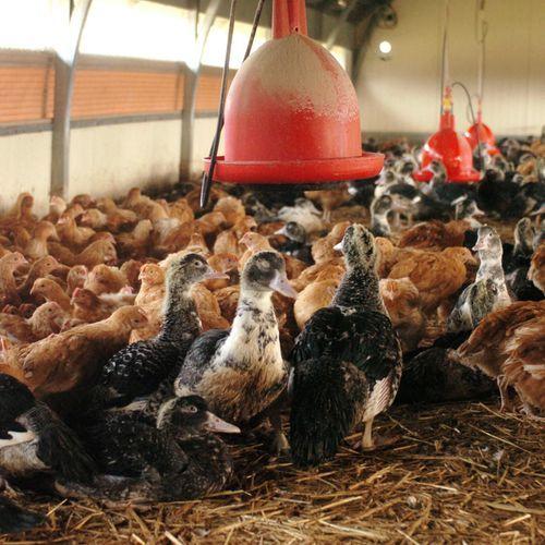 Le poulet d'aujourd'hui, symbole de l'impact de l'homme sur la nature