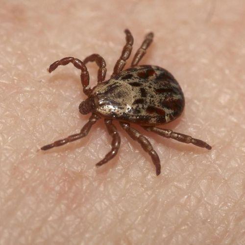 Maladie de Lyme : la polémique sans fin ?...