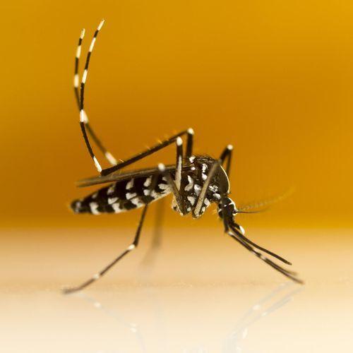 Moustique tigre : 51 départements en alerte rouge
